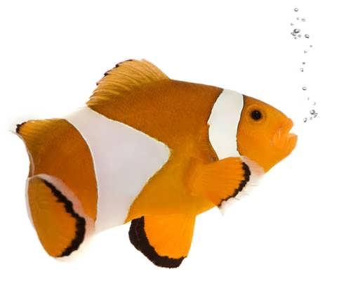 German for Fish